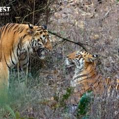 Tiger courtship at Tadoba Andhari Tiger Reserve