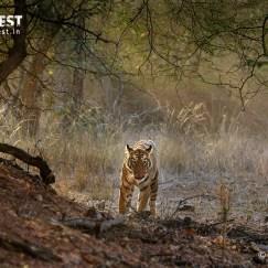 Tiger in habitat at Tadoba Andhari Tiger Reserve