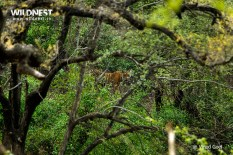 Tiger in Habitat at Sariska Tiger Reserve