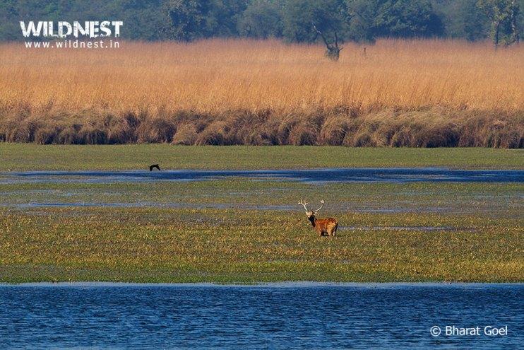 endangered animals in Indian wildlife swamp deer