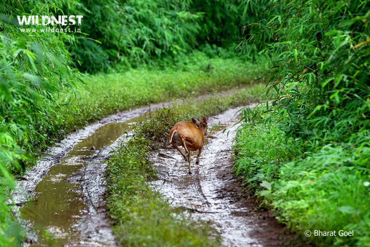 Tadoba Trip Report - Barking deer running tadoba