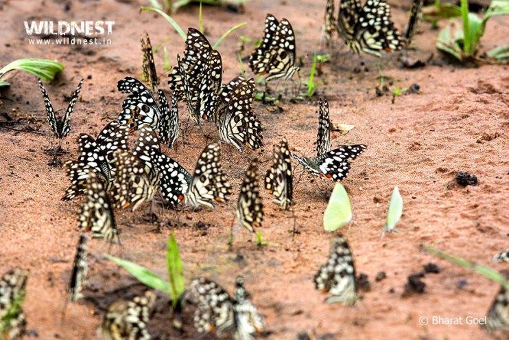 Tadoba Trip Report - butterflies at tadoba