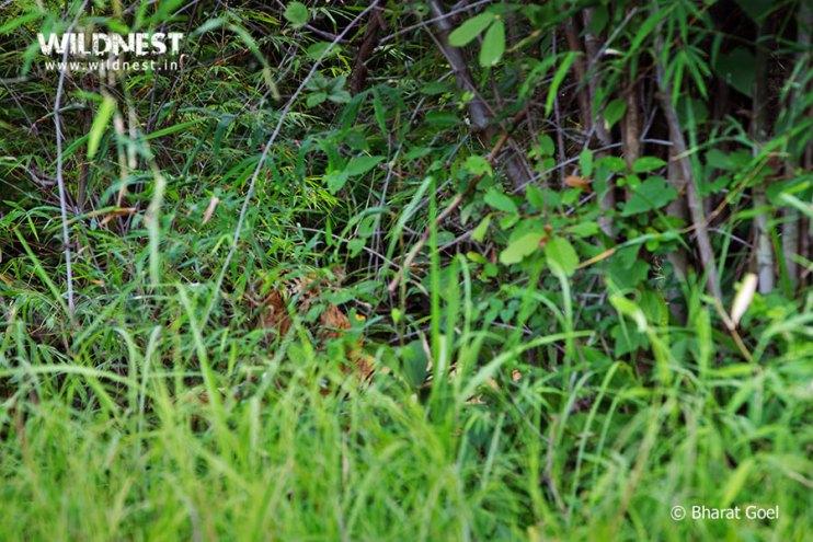 Tadoba Trip Report - tiger in monsoon at tadoba.