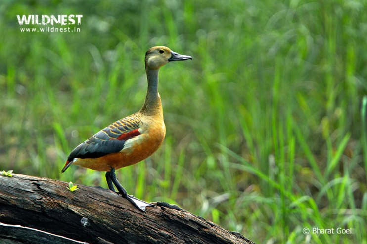 Tadoba Trip Report - clesser whistling teal at tadoba