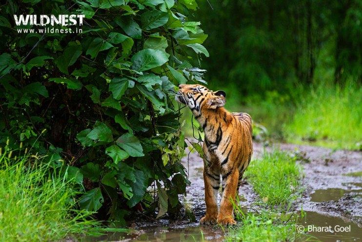 Tadoba Trip Report - tiger smelling-tadoba