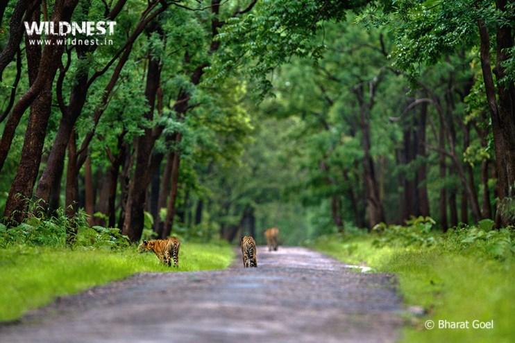 Tadoba Trip Report - Tiger family at tadoba