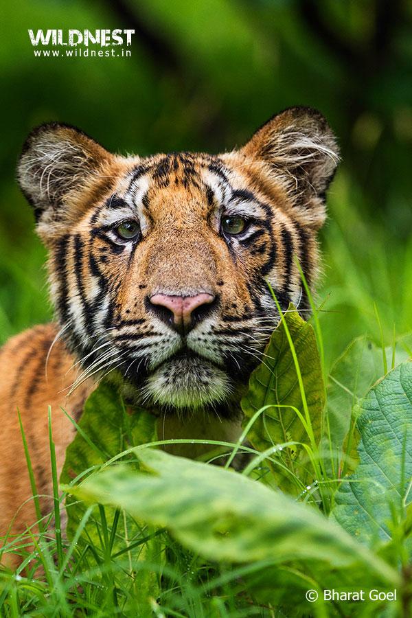 Tadoba Trip Report - tiger-cub-portrait-tadoba
