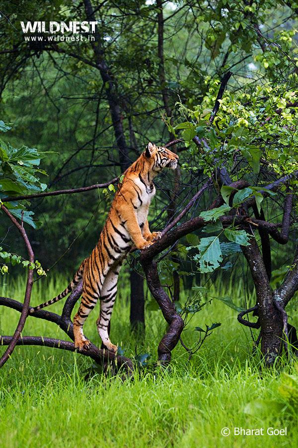 Tadoba Trip Report - standing tiger at Tadoba Andhari Tiger Reserve