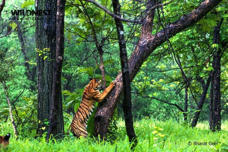 Tadoba Trip Report - tiger cub at Tadoba Andhari Tiger Reserve