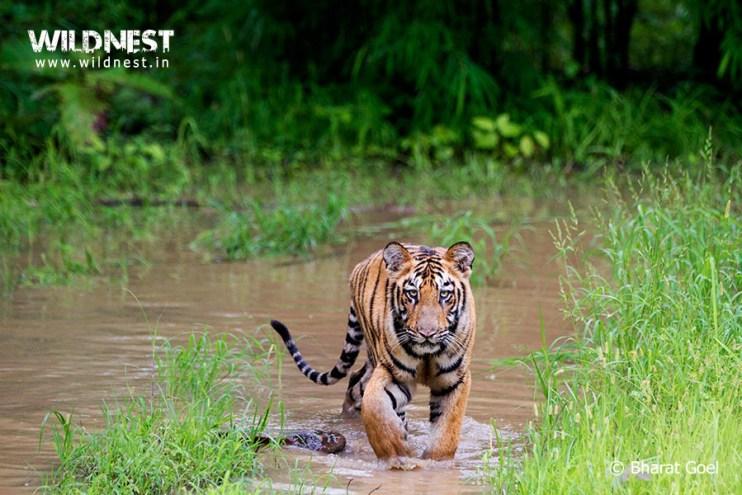 Tadoba Trip Report - tiger at Tadoba Andhari Tiger Reserve