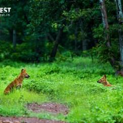 Wild Dogs at Tadoba Andhari Tiger Reserve