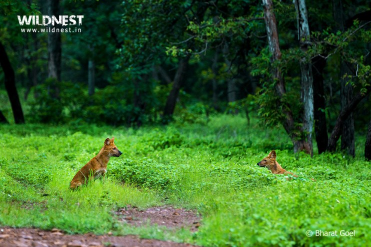 Tadoba Trip Report - wild dogs in monsoon at tadoba