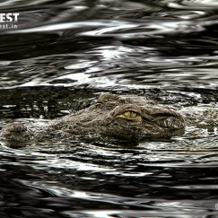 Marsh crocodile at tadoba andhari tiger reserve