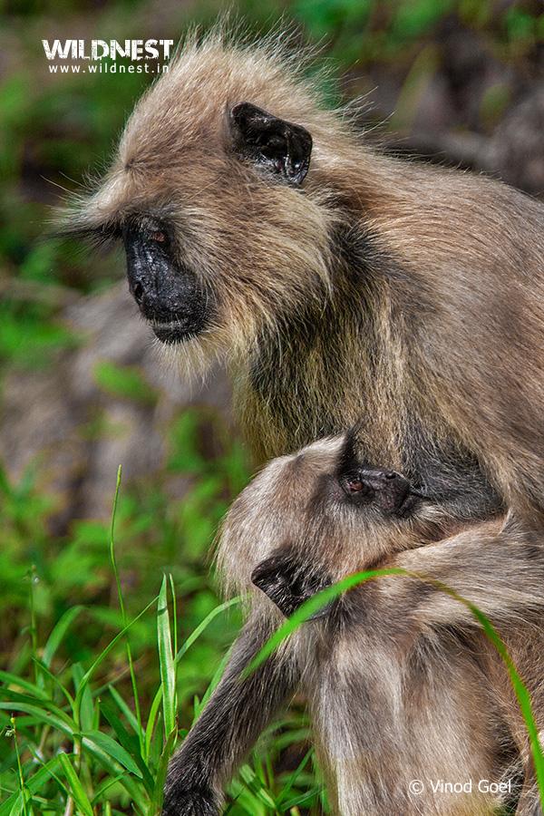 Tadoba Trip Report - Langur with baby at tadoba