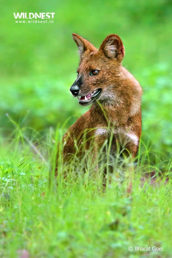Tadoba Trip Report - Wild dogs at tadoba