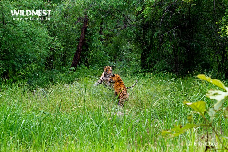 Tadoba Trip Report - Tiger playing in water - tadoba