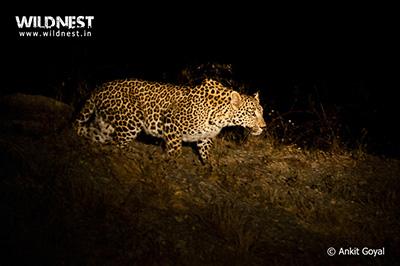leopard at bera