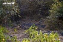 hyena in habita at sariska tiger reserve