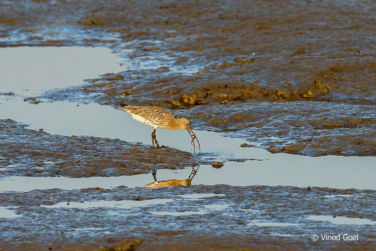 Eurasian Curlew at Bhandup