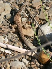 California whiptail lizard