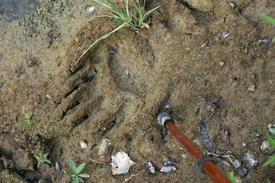 Large bear tracks like this are common