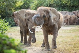 Elephants Temporarily Move Out of the Zoo