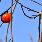 Persimmon – A Perfect Fall Survival Food