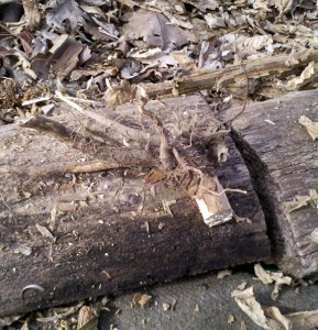 Mullein Root - A Fire Tool?