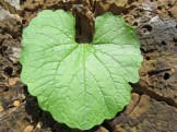 garlic-mustard-leaf
