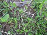 mat-chickweed