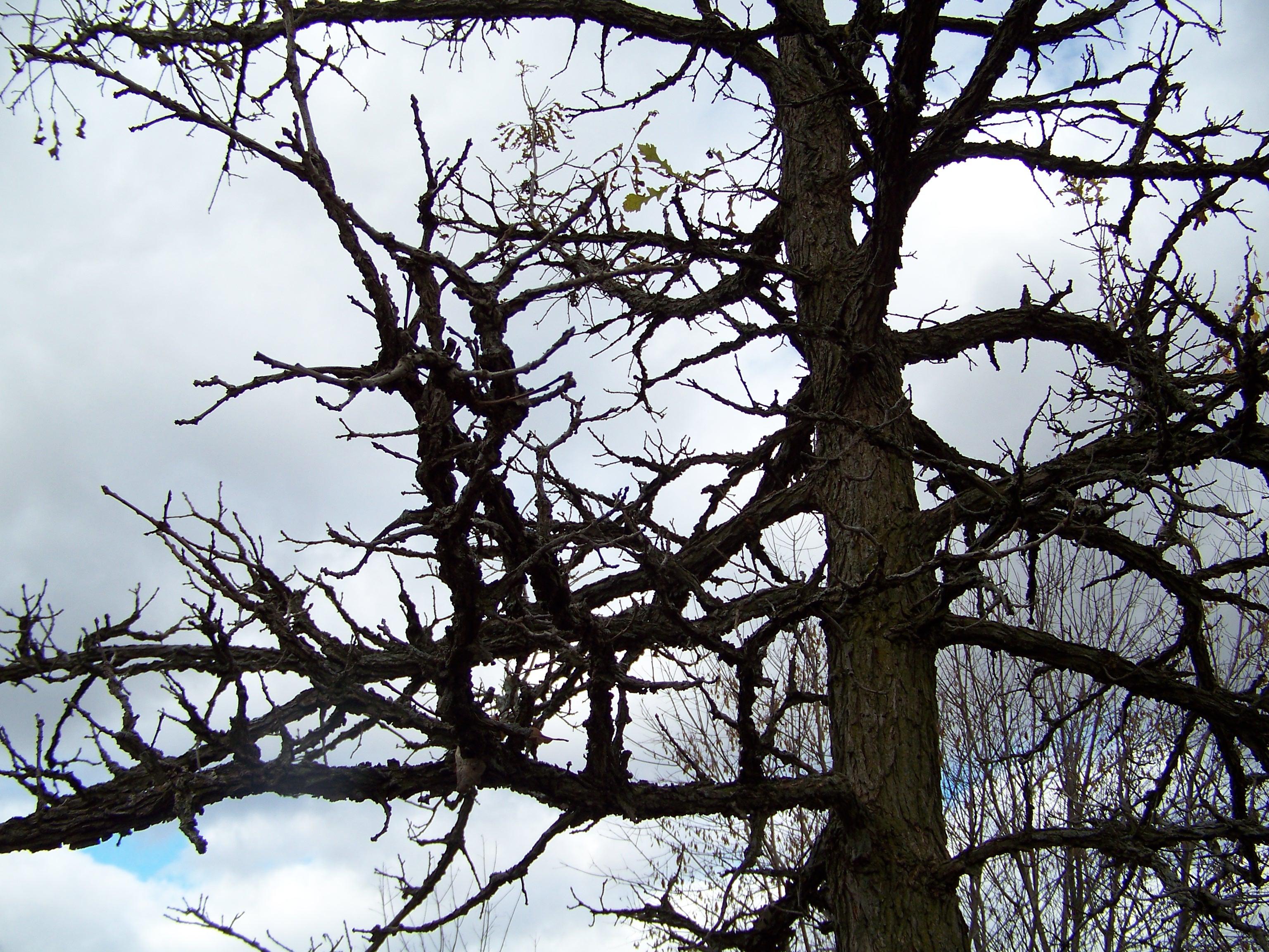 Fullsize Of Burr Oak Tree
