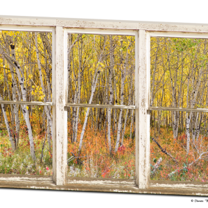 Colorful Aspen Tree Forest White Rustic Window 32″x48″x1.25″ Premium Canvas Wrap Art