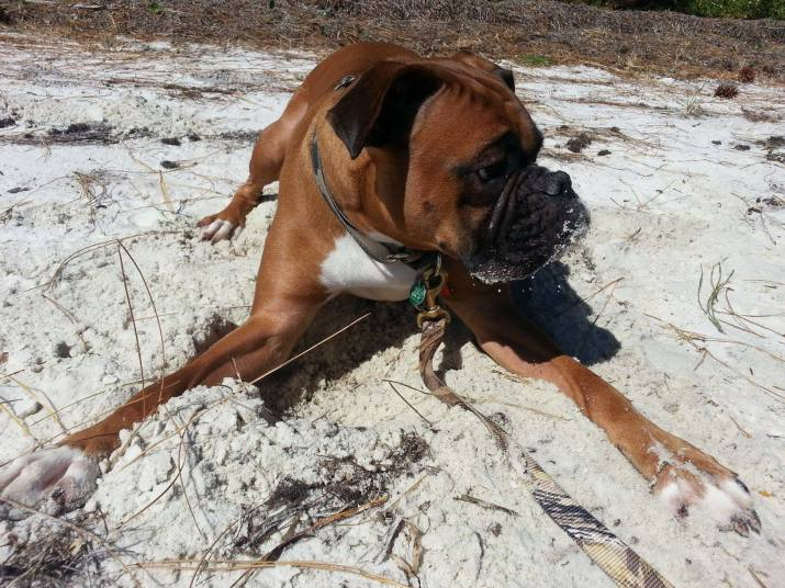 Our Boxer loves the cool sand!