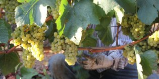 Napa Valley's 2016 Wine Grape Harvest Underway
