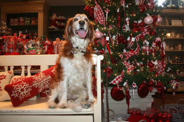 Winslow at Rogers Gardens for his Christmas Card picture, a quite handsome Welsh Springer Spaniel who is the companion of artist Cathryn Hatfield