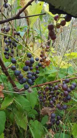 Small Of Wild Grape Vine
