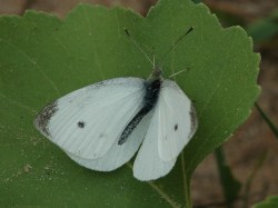 Small Of Little White Butterflies