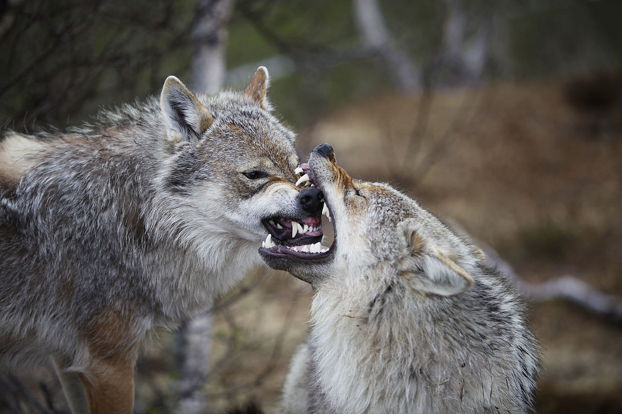 Supple All Our Domestic Dog Breeds Is Widely Acknowledged Tobe When People Tamed Wolves Thousands Years But Has It Been Abehavioural Has Canine Domestication Been Good Likely Origin Dogs Or Will Histo bark post Dog Vs Wolf