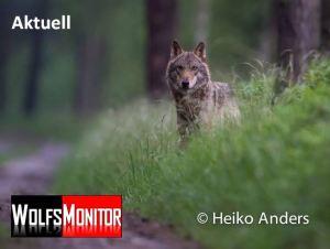 Wolf (Foto: Naturfotograf Heiko Anders)