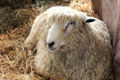 Maryland Sheep and Wool Festival