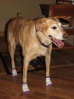 Caly the Dog Stops Sliding on Wood Floors