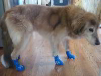 Gretchen Wearing Power Paws on Hardwood Floors
