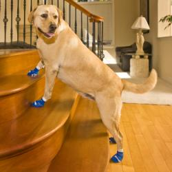 Golden Lab on Wood Stairs