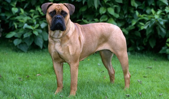 Bull Mastiff dogs, good dog breeds