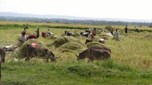 mwea farmers harvesting rice