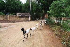 Bagan Goats
