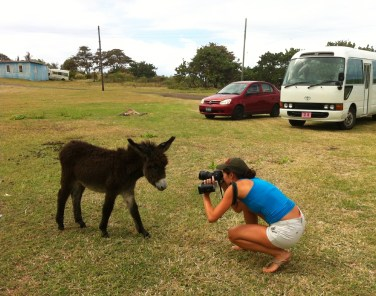St Kitts Donkey Picture