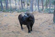 Bhutan Takin Reserve Takin