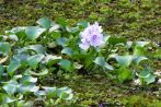 Kerala Backwaters Flower