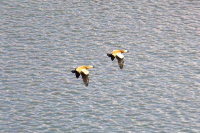 Beautiful Ruddy Shelduck Ducks